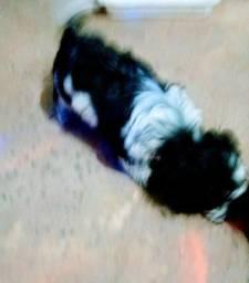 Vd uma linda filhote de cachorra poodle micro toy