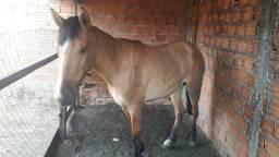 Égua potra de 1 ano e 3 meses