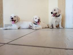 Labradores Macho e Fêmea