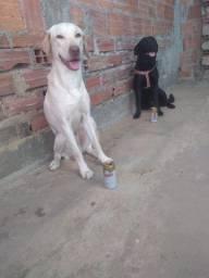 Labrador puro no precinho 500 tem conversa chama no zap *53