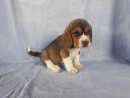 Beagle mini - filhotes de 45 a 60 dias disponíveis 119727-277-78