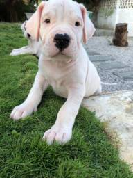 Filhotes Dogo Argentino com pedigree CBKC