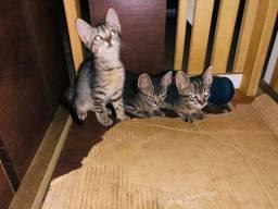 Doaçao de gatinhos gato macho e fêmea
