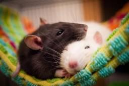 Vendo ratos twister