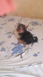 2 filhotes de shit-zu macho 1 yorkshire mini fêmea 3 poodle macho