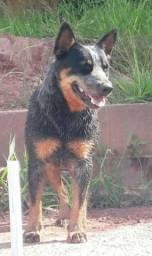 Adoção responsavel de cadela Blue Heeler