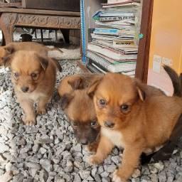 Labrador x dog brasileiro so 150 cada.chama  entregamos