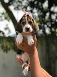 Lindas femêas filhotes de beagle com pedigree e vacina importada