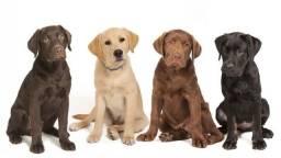 Labrador disponível filhotes