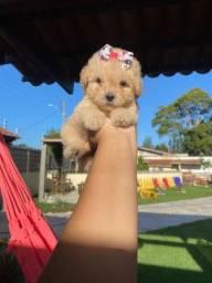 Poodles minúsculos toys com pedigree