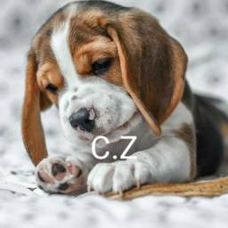 Beagle Linhagem Top! - pedigree
