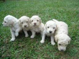 Filhotes de poodle para doação