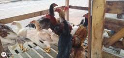 Frangas e frangos caipira