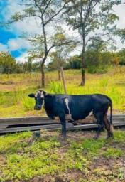 Vaca Santa Rosário