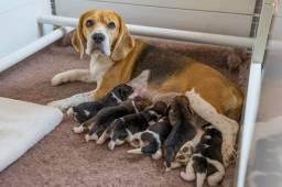 Filhotes TOP's de Beagle Tricolor com Pedigree!