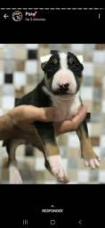 Bull terrier inglês lindoss