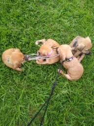 Cachorro boxe