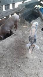 Porcos Caipira Piau