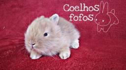 Mini coelhos raça mini lion