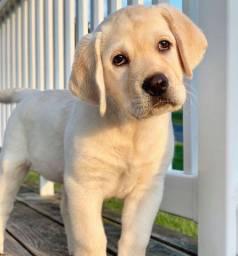 Filhotes de Labrador disponíveis
