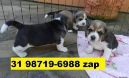 Canil Filhotes Cães Líder BH Beagle Basset Poodle Lhasa Maltês Shihtzu Yorkshire