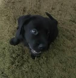Filhotes de Labrador Retríver legítimos