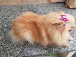 Lulu da pomerancia