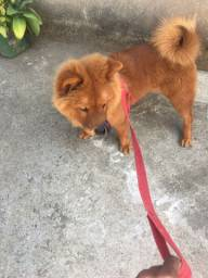 Chow chow 4 meses
