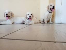 Labradores a alegria da criançada