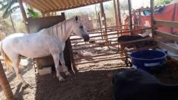 Cavalo manso marcha batida de centro esperto muito manso