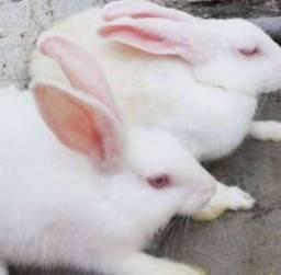 Vendo coelhos brancos a r$ 25.