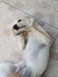 Doaçao de Labrador