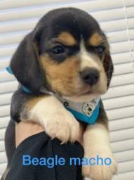 Beagle lindos e fofos