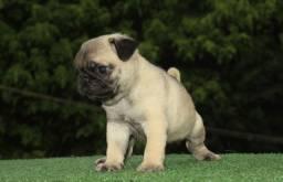 Filhote pug !!!!!