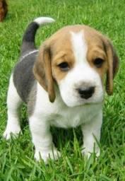 Beagle tricolor com garantia