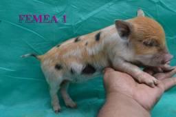 Mini Pig Muito Fofinhos