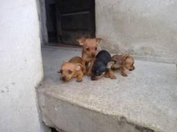Filhotes de miniatura pinscher