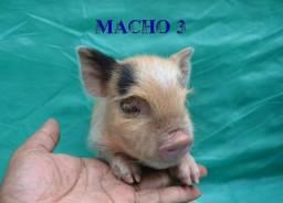 Mini Pig Muito Fofos