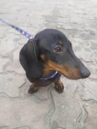 Vendo cachorro Basset