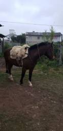 Cavalo crioulo Registrado