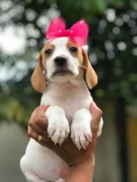 Somente hoje - com pedigree e garantias - femêas de beagle