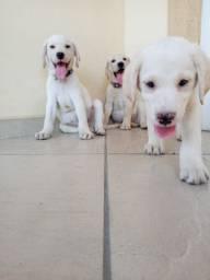 Labradores Lindos