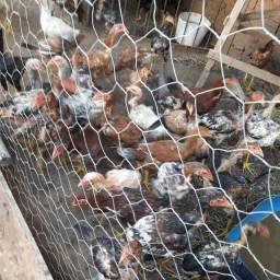 Vendo 10 frangos uo mais 100% caipira