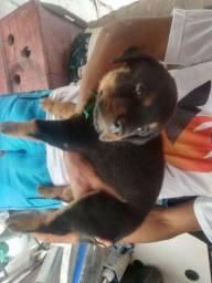 rottweiler ( cabeça de touro )