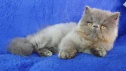 Gato persa com pedigree