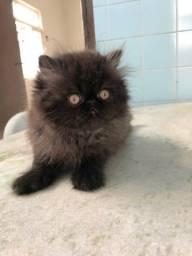 Filhote gato persa padrão show fêmea cor preta esfumaçada