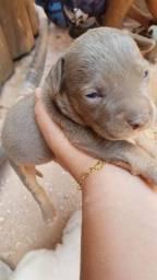Pitbull macho com 2 meses e meio de vida