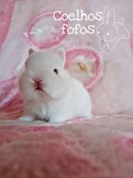 Mini coelho Anão Netherland show