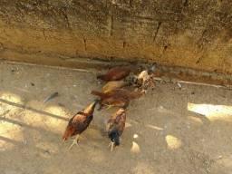 Galinha frangos e frangas pintinhos e galo