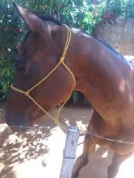 Vendo ou troco cavalo quarto de milha